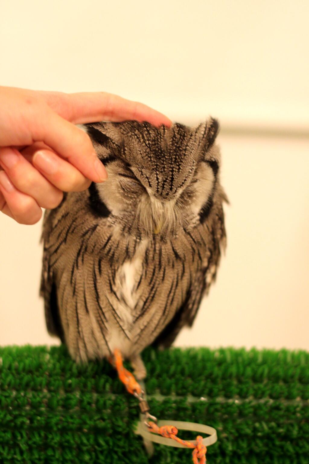 【画像】フクロウカフェに行ったら萌え死んだ・・・なんだこの可愛すぎる生き物は